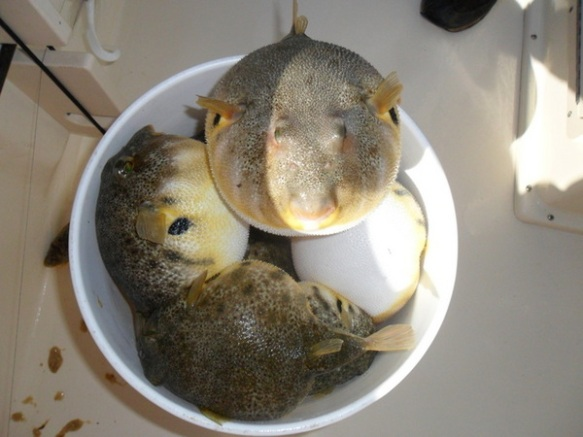 Again, not my foto.  Just a bunch of blowfish hanging out, gabbin', inflating and stuff